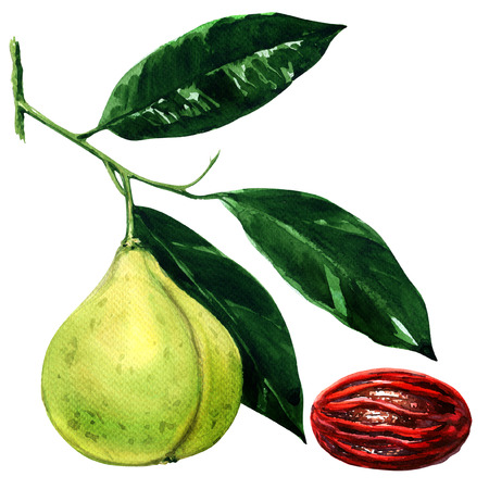 nutmeg: nutmeg fruit branch with leaves and seed isolated, watercolor illustration on white background