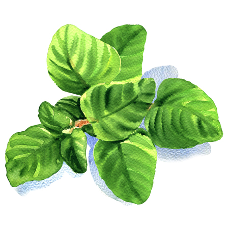 origanum: twig of fresh oregano leaves isolated, watercolor illustration on white background