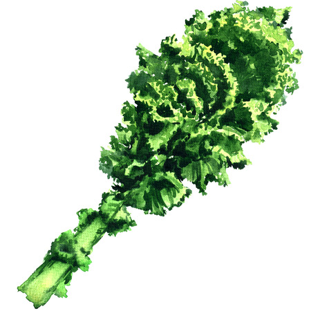 Bunch of fresh curly green kale leaf isolated, watercolor illustration on white background