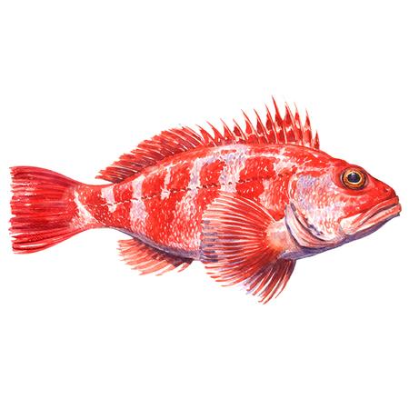 Helicolenus ケファラカンツス属、メバル、Blackbelly rosefish や鮭の分離、白背景の水彩画イラスト 写真素材