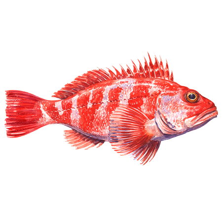 Helicolenus dactylopterus, Rockfish, Blackbelly rosefish or redfish isolated, watercolor illustration on white background