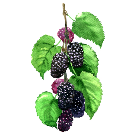Fresh fruit black mulberry with leaves isolated, watercolor illustration on white background Standard-Bild