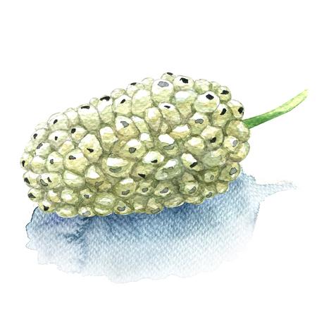 Mûrier blanc de fruits frais isolé, illustration aquarelle sur fond blanc