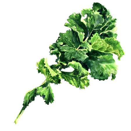 Bunch of fresh green kale leaf vegetable isolated, watercolor illustration on white background 版權商用圖片