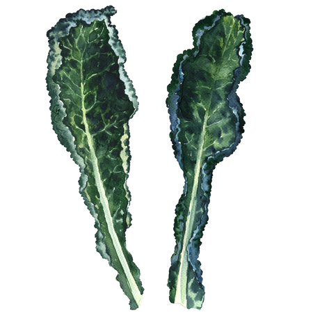 kale: Two fresh black kale leaves isolated, watercolor illustration on white background