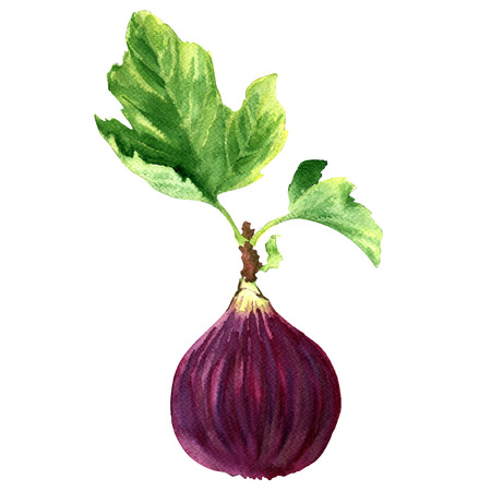 fig: Ripe sweet fig with green leaf isolated, watercolor illustration on white background