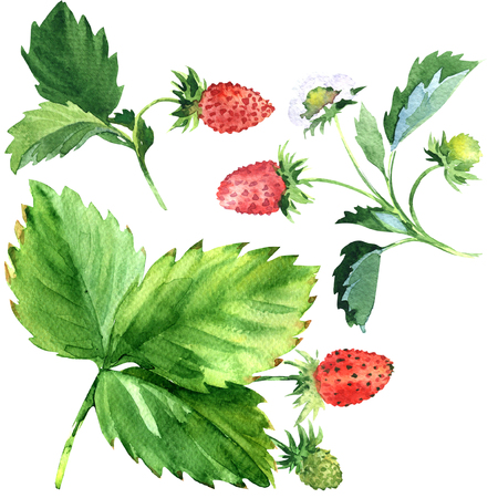 Wild strawberry plant with green leaves and ripe red fruit, watercolor illustration on white background