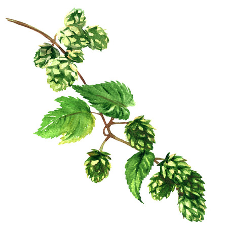Branch green hop with leaves plant isolated, watercolor illustration on white background Foto de archivo