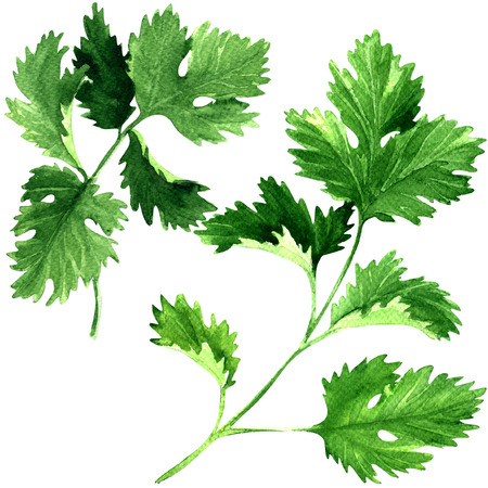 cilantro: Fresh parsley herb leaves isolated, watercolor illustration on white background Stock Photo