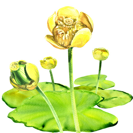 waterlily: Yellow water-lily flower, Nuphar lutea, with leaves isolated, watercolor illustration on white background