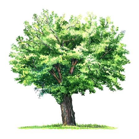 geïsoleerd groen moerbeiboom, aquarel illustratie op een witte achtergrond