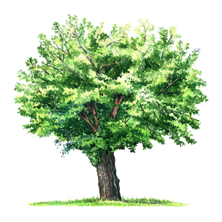large tree: green isolated mulberry tree, watercolor illustration on white background