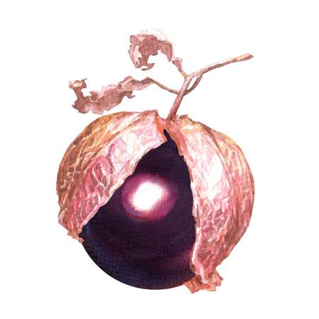 Fresh purple tomatillo in a husk, watercolor illustration on white background Stock Photo