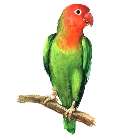 lovebird: beautiful red and green lovebird parrot on branch isolated, watercolor illustration on white background