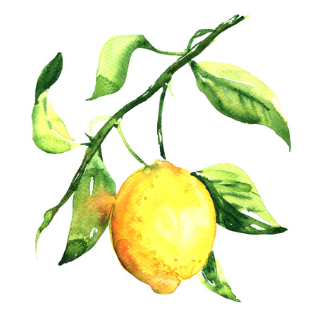 One fresh ripe lemon with leaf on a branch isolated, watercolor illustration on white background