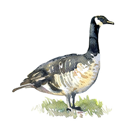 canada goose: Canadian Goose on green grass isolated, watercolor illustration on white background Stock Photo