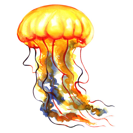 medusa: Orange Ocean Water Jellyfish or medusa isolated, sea life, watercolor illustration on white background Stock Photo