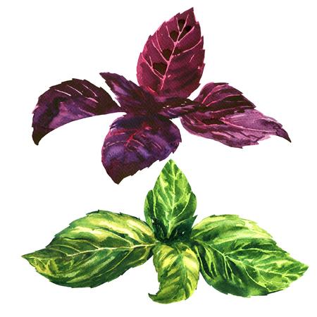 albahaca: Frescas (rojo) hojas de albahaca verde y púrpura, tops, aislado, ejemplo de la acuarela en el fondo blanco