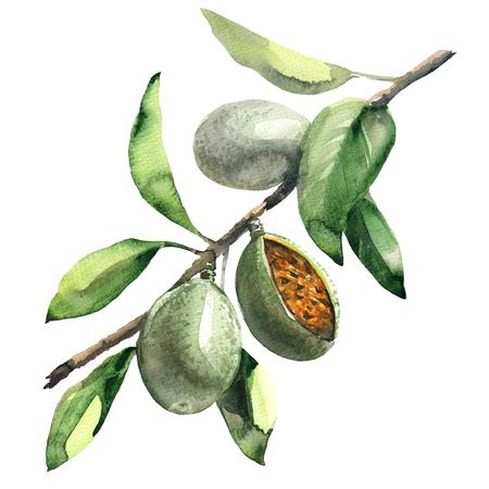 白い背景の上の緑のアーモンド分離、水彩イラストとアーモンドの木の枝