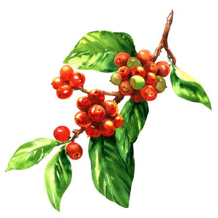 grãos de arábica café vermelho na filial isolada, ilustração da aguarela no fundo branco