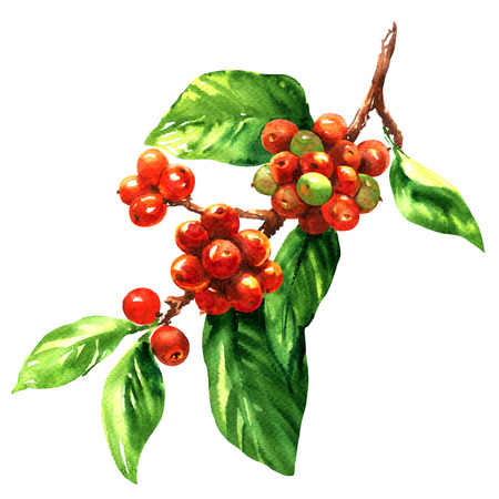 Red coffee arabica beans on branch isolated, watercolor illustration on white background Foto de archivo