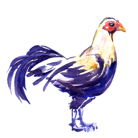 cockfighting: Fighting cock, gamecock male isolated, watercolor illustration on white background