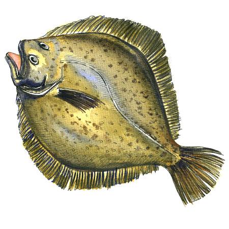 Whole fresh raw plaice fish, flatfish, flounder, isolated, watercolor illustration on white background