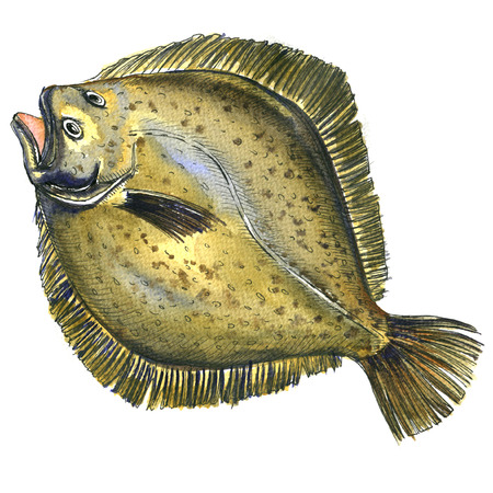 Whole fresh raw plaice fish, flatfish, flounder, isolated, watercolor illustration on white background