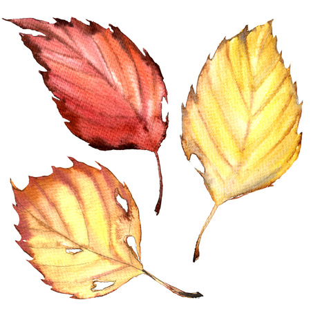 autumn beech leaves in red and yellow colors isolated, watercolor illustration on white background