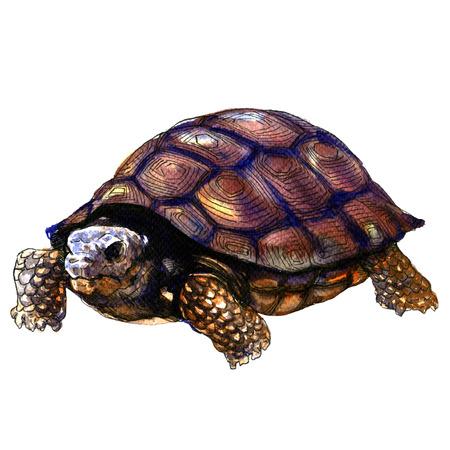 Sea old turtle isolated, watercolor illustration on white background Foto de archivo