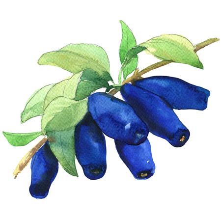 honeysuckle: Ripe Honeyberries or Honeysuckle Berries branch with leaves isolated, watercolor illustration on white background Stock Photo