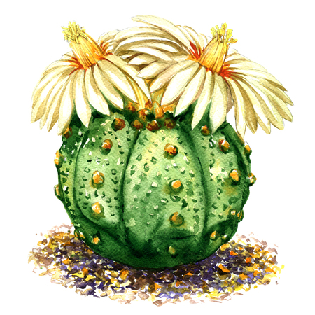 Cactus with light yellow, white flowers isolated, watercolor illustration on white background
