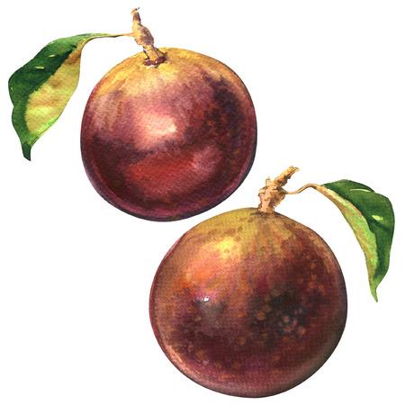 golden apple: Ripe purple star apple, chrysophyllum cainito, golden leaf tree, northern Thai fruit isolated, watercolor illustration on white background