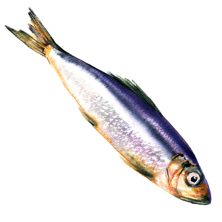 coldblooded: Herring fish isolated, watercolor illustration on white background