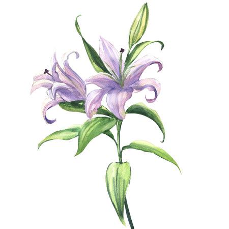 아름 다운 파란색이나 보라색 백합 꽃 피는 피. 꽃 엽서입니다. 결혼식 요소입니다. 흰색 배경에 수채화 그림