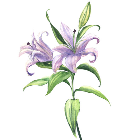 Blooming beautiful blue or purple lily flower isolated. Floral postcard. Wedding elements. Watercolor illustration on white background