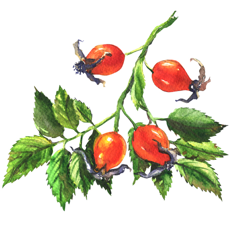 Dog rose, rosehip branch with red berries, fresh briar isolated, watercolor illustration on white background Foto de archivo
