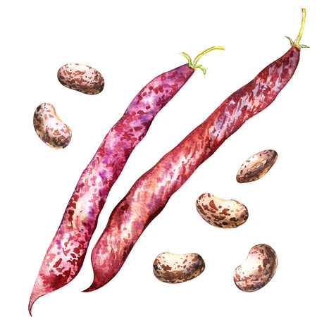 Color red borlotti beans and pod isolated, watercolor illustration on white background
