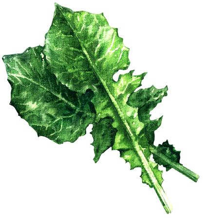 De salade van het witlof, catalogna, andijvie, groene geïsoleerde bladeren, waterverfillustratie op witte achtergrond