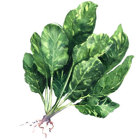 뿌리와 원시 유기농 시금치 나뭇잎, 수채화 그림 절연 흰색 배경에