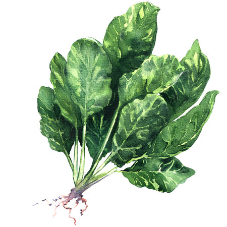 Raw organic spinach leaves with root isolated, watercolor illustration on white background
