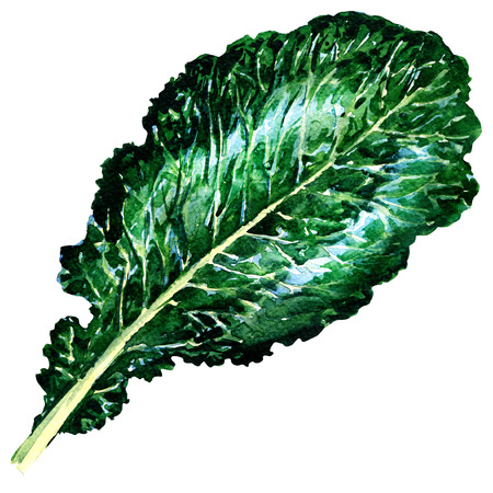 Fresh collard greens isolated, watercolor illustration on white background Stock Photo