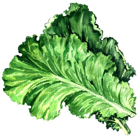 Salad leaf, fresh lettuce isolated, watercolor illustration on white background