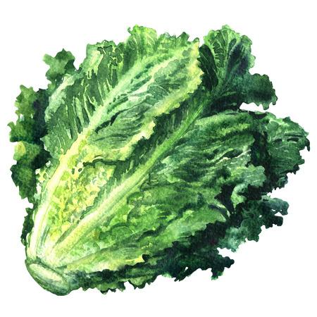 Fresh green romain lettuce isolated, watercolor illustration on white background Stok Fotoğraf