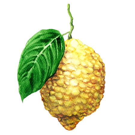 Fresh japanese citron fruits, citrus medica, isolated, watercolor illustration on white background