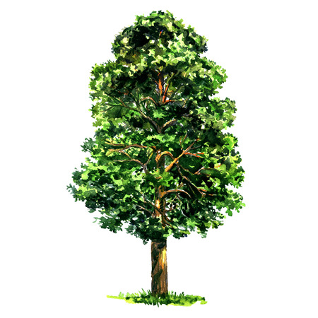 Fir pine tree isolated, watercolor illustration on white background