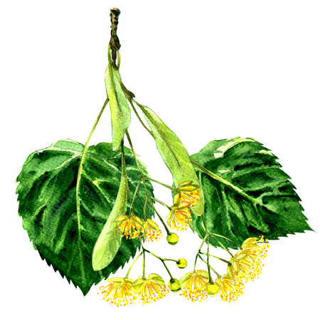 Fresh flower and leaf of linden branch isolated, watercolor illustration on white background