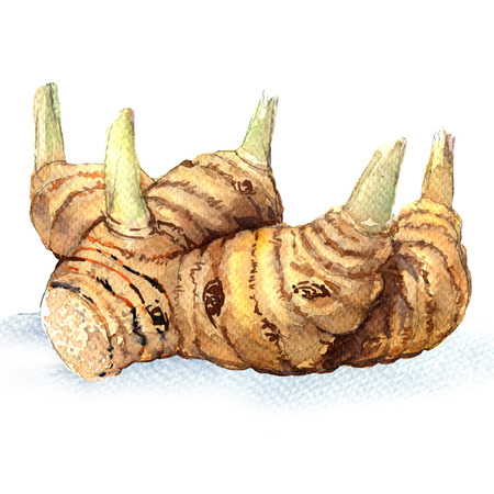 Greater galangal root isolated, watercolor illustration on white background