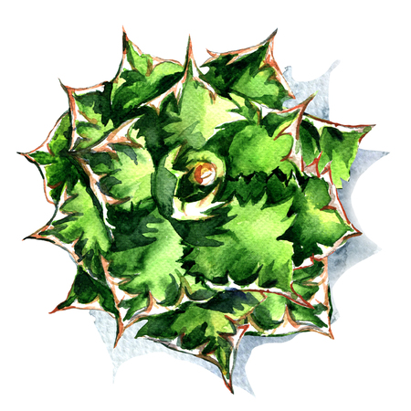 agave: Agave plant green flower top view isolated, watercolor illustration on white background