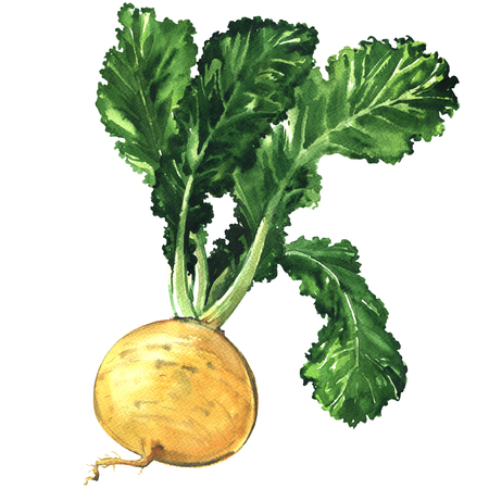 Yellow ripe turnip isolated, watercolor illustration on white background Stock Photo